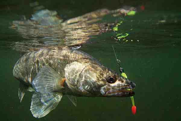 Sommerfiskeriet efter sandart er noget du bør prøve. En lille håndregel: Er vandet klart – så fisk om natten, er vandet grumset – så fisk om dagen. Så er muligheden for succes endnu større.