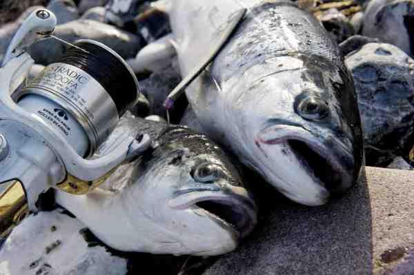 Langeland byder på et eminent havørredfiskeri – det er bare med at komme afsted.
