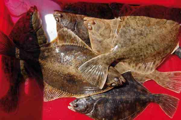 Selvom Samsø udmærker sig ved fantastisk havørredfiskeri, er her også mange andre arter at fiske efter – bl.a. multer, hornfisk og som her fladfisk.