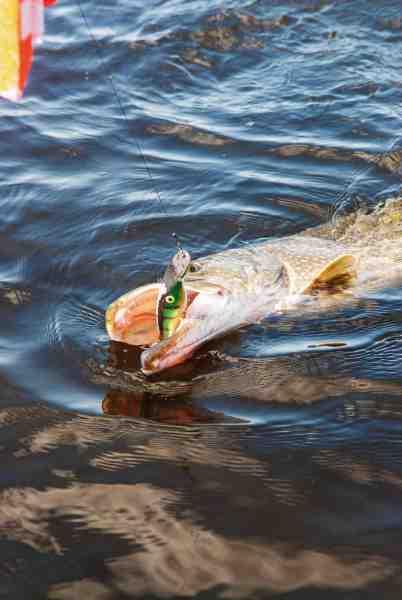 En fin fisk taget på udboret Zalt under paravanetrolling. De fleste typer af woblere af plast med luftkamre kan udbores og fiskes vandbelastet.