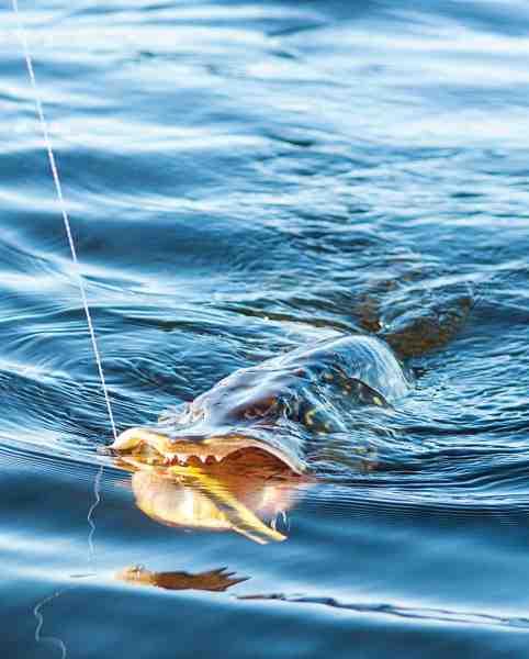 De seneste sæsoner har artikelforfattaren med stor succes anvendt snoede forfang af fluorocarbon under sit geddefiskeri.