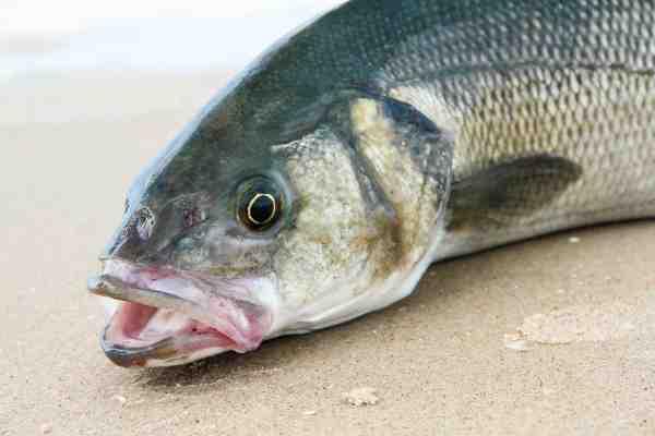 Læs meget mere om barsfiskeriet i sommernummeret af Fisk & Fri. Bladet er på gaden  d. 1. juni.