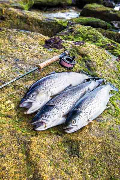 Fyraftensfiskeriet er til tider meget actionfyldt og den gode tommelfingerregel »er der en er der ofte flere« holder i den grad. Disse tre fisk blev landet på under 30 minutter.