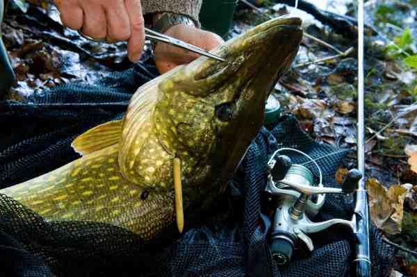 Husk at medbringe en god pean til at løsne krogene. Denne fisk tog en skalle fisket poppet-op fra bunden. Bemærk balsastick'en på taklet, der stikkes ind i agnfisken, så den bliver flydende.