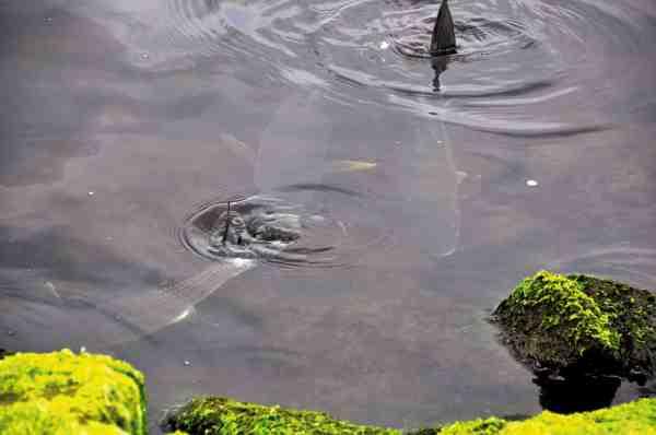 Ved højvande kommer multerne ofte uhyggeligt tæt på land.