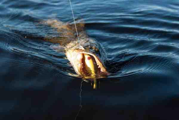 Endnu en fisk er faldet for geddemagneten Zalt. Westin Platypus er også et rigtig godt bud på en wobler der fungerer helt eminent til langsom afsøgning efter kuldslåede fisk i det tidlige forår.
