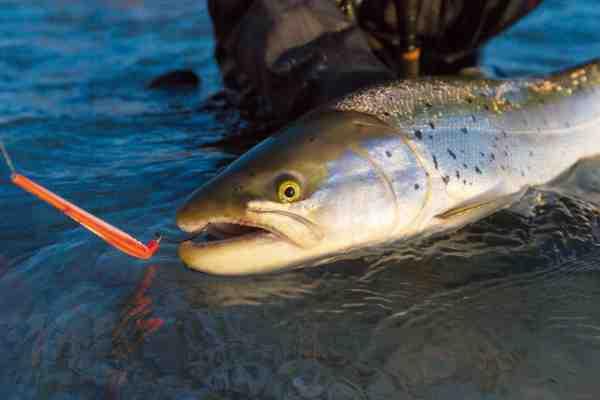 Den enormt langt kastende agn »D360° Distance« stod for 70-80% af fiskene på turen.