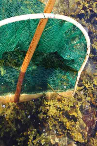 Med en rigtig rejehæv som denne, er det let at få rejerne ud af tangbuskene.