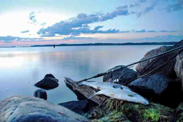 Nicolais sæson starter normalt i fjorden, når isen bryder. I takt med, at vandet bliver varmere, og lysten til at fange større fisk stiger, vendes næsen mod de åbne kystpladser.