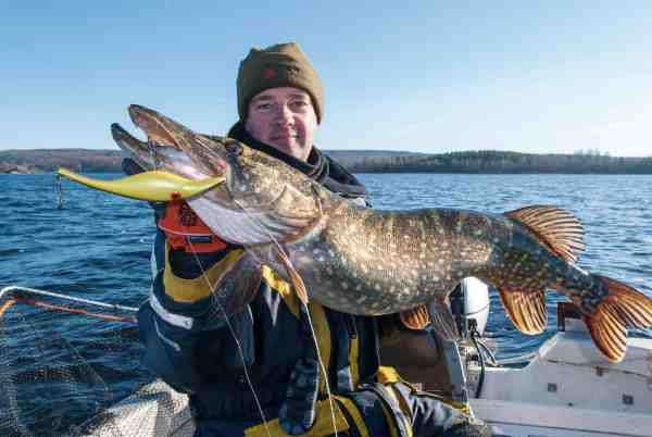 Testfiskeriet med de vandbelastede woblere har givet mange gode fisk – blandt andet denne skønhed.