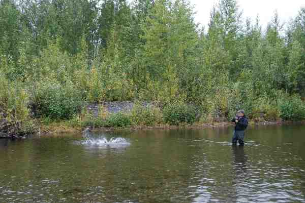 I det lave spritklare vand, kunne vi spotte fiskene og kaste til dem. Her Søren i nærkontakt med en chum (hundelaks).