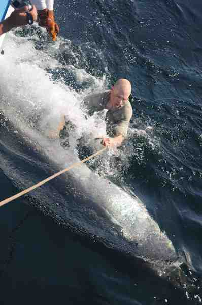 Fisk & Fri's trollingredaktør – Jan Svenstrup – ser unægtelig lidt splejset ud ved siden af den største fisk han har fanget – nemlig denne 1200 lbs blåfinnede tun.
