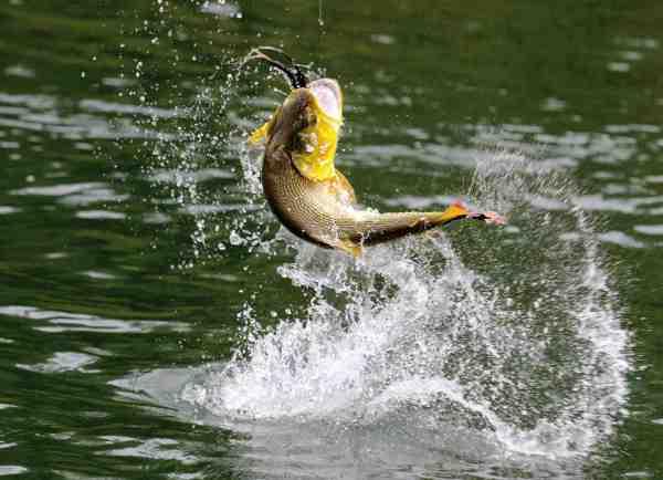 Er du til adrenalinpumpede benhårde fights med gudeskønne fisk – så tag til Argentina, hvor der i Paranafloden er massvis af flotte doradoer.