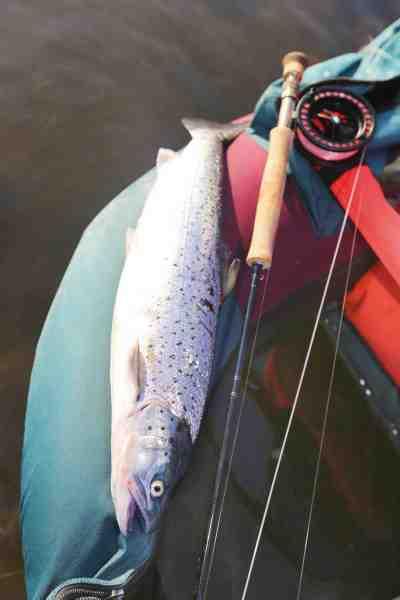 En flot to kilos fra revet. Denne fisk var en af mange i en stime der lige præcis ikke kunne nås ved vadning.