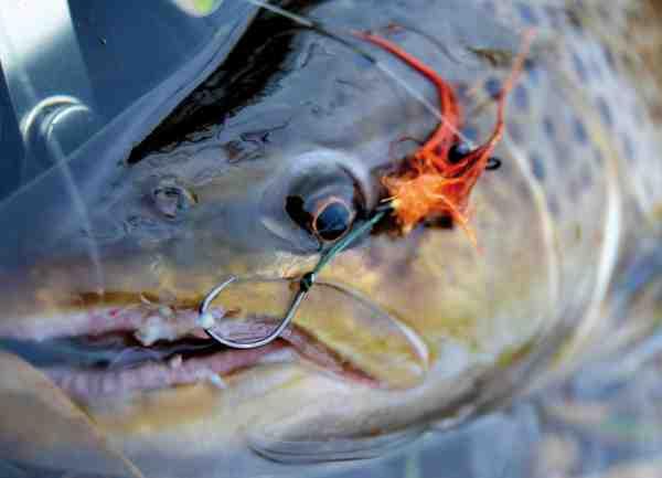 En hanfisk med begyndende gydedragt har taget en Marabou Flu på waddington shank.