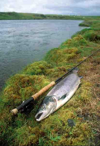 Islandsk laks taget på enhåndsgrejet. Denne flotte hanfisk leverede en brav kamp.
