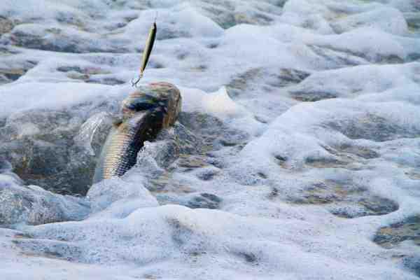 Når der er godt gang i bølgerne, er det ingen sag at kane de store bars ind - bølgerne bærer dem nærmest helt op på stranden.