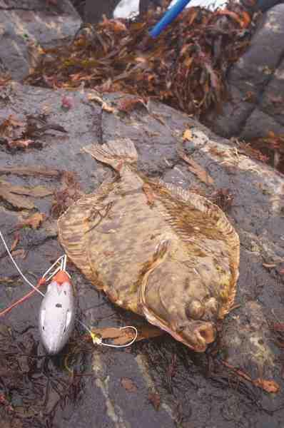 Skrubberne kan være forslugne, og ofte kroges de for dybt med traditionelle langskaftede fladfiskekroge. En cirkelkrog som denne, kroger dog altid i munddelene.