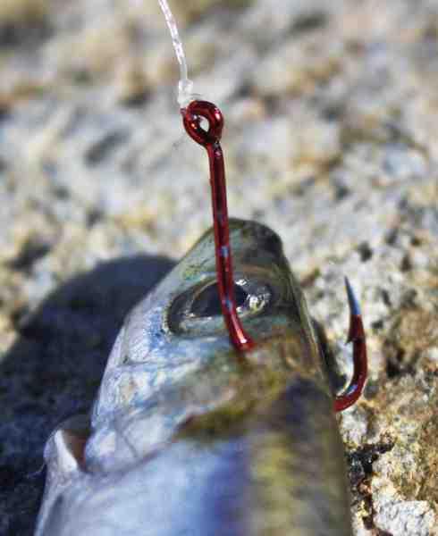 Silden agnes i al sin enkelthed med en stor enkeltkrog str. 1-1/0, der evt kan suppleres med en lille trekrog på en stinger.