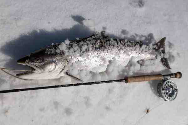 De mange snedriver, som ofte ligger tilbage længe efter isen har sluppet sit tag, er glimrende »køleskabe« til dagens fangst.