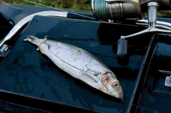 Sild taklet op med et Twinex-releasetakel, som har den fordel at det kroger bedre, når fiskens kæber låser sammen om fisken. Et takel som dette kan ikke kastes på normal vis – og ligger derfor klar til at blive sejlet ud med en fjernstyret båd – også kaldet baitboat.