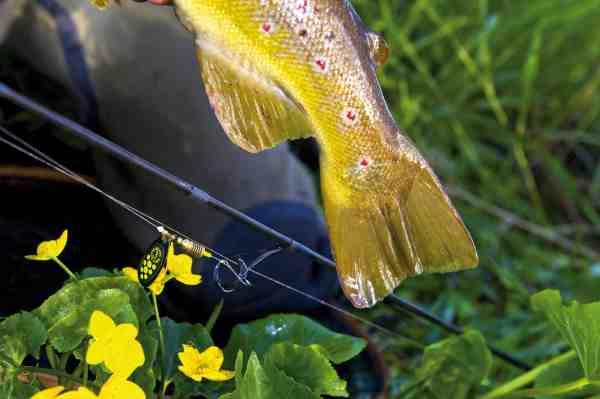 Med sine flotte røde prikker er bækørreden en af de smukkeste fisk i vore vande. Denne fisk faldt for Mepps Black Fury fisket som gennemløbsspinner.