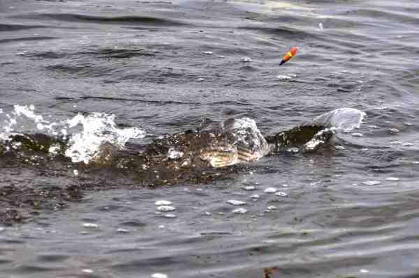 Multen er en benhård fitghter der kilo for kilo er blandt de stærkeste fisk på kysten.