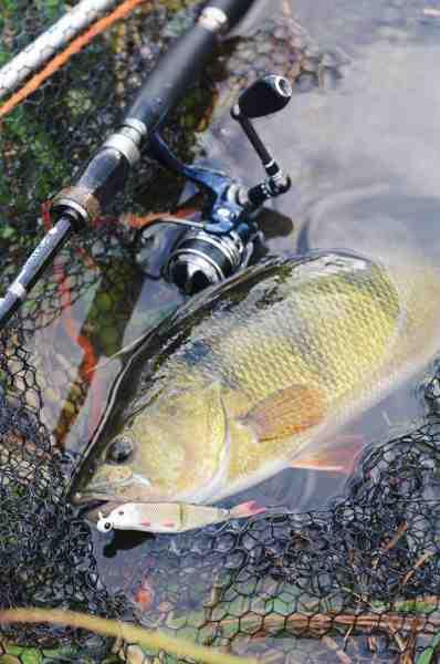 De store brakvandsaborrer er en vigtig rovfisk, når det kommer til bekæmpelse af sortmundet kutling. Denne faldt for en 4play softbait – måske den troede det var en lækker sortmundet kutling…