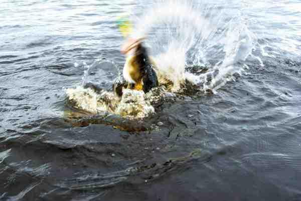 Storsandarten kæmper den sidste kamp for at undgå en tur op i båden.