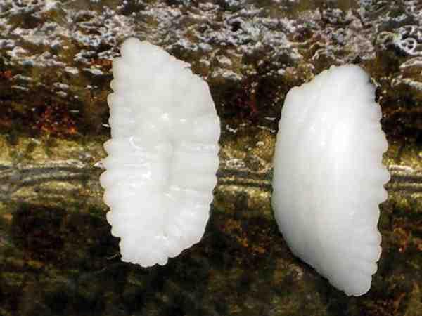Her ses ørestenene – også kaldet otolitherne – der mens fisken er i live ligger i fiskens labyrint. Har man kogt suppe på fiskehoveder, vil disse hårde hvide sten ofte ligge i bunden af gryden. Otolither bruges i videnskabelig sammenhæng til at bestemme fiskens alder, ligesom på træets årringe.