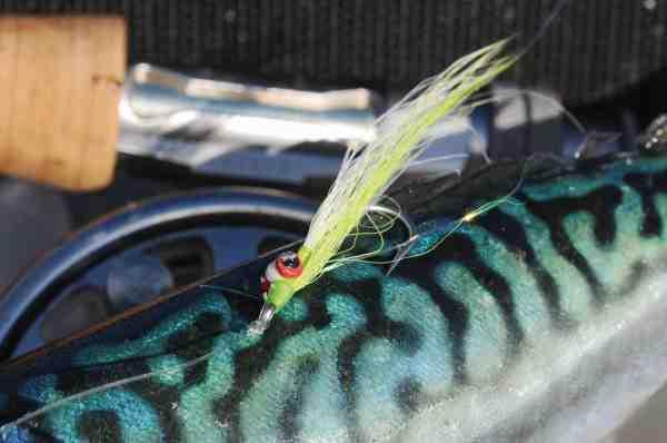 Forfatterens favoritflue, Clouser Minnow, viste sig selvfølgelig også at være en suveræn flue til makrel. Prøv gerne den grøn/hvide version som her.