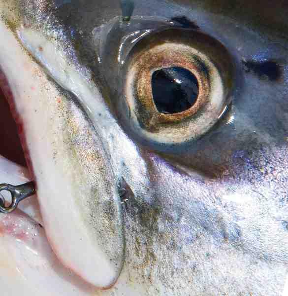 Laksefisk i en størrelse man gider fange har først et effektivt UV-syn, når de indleder deres gydevandring.
