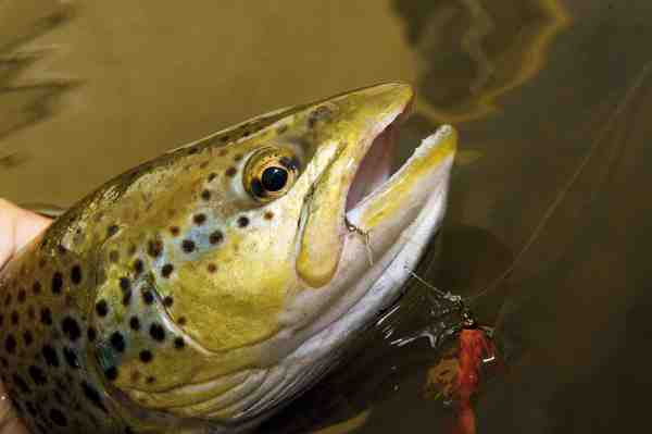 En lille orange release-flue fisket med en glasperle som kastevægt, var det der skulle til for at overliste denne fine bækørred.