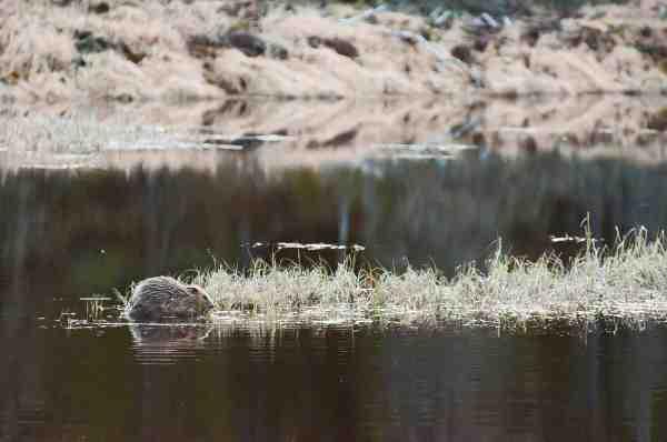 Der er gode muligheder for at se bæver i Trysil og de mange bi-elve. Vil man tæt på, foregår det lettest fra kano.