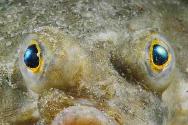 Synet hos de fleste fisk har den bedste opløselighed i det blå spektrum, da det blå lys trænger længst ned i vandet. Fisken er derved sikret et detaljeret syn på dybere vand også.