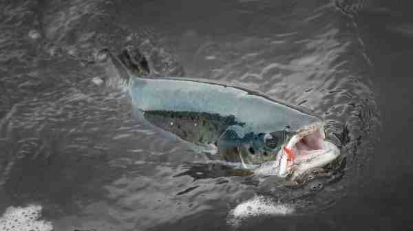 Selvom langt de fleste laks ved de New Foundlandske elve tages på tørflue – er der også enkelte, som kun kan overlistes på vådflue – som fx denne fisk.
