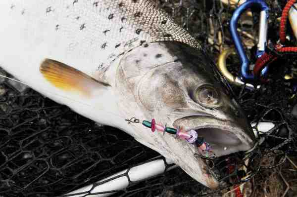 Endnu en fjordørred faldt for pallietormen – her fisket på et reloose-takel.