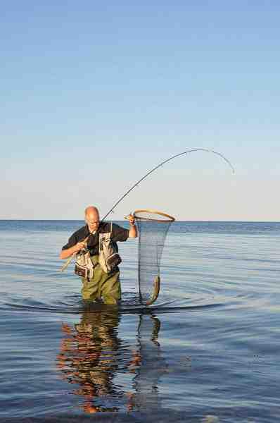 Skønt. En fynsk havørred er overlistet og sikkert i nettet.