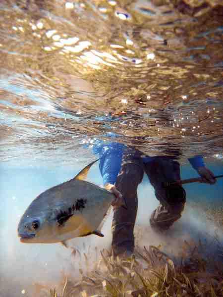 Permitten, som er talstærkt repræsenteret i farvandene omkring Turneffe Island, er en uhyggelig svær fisk, der kræver både snilde, teknik og koldblodighed.