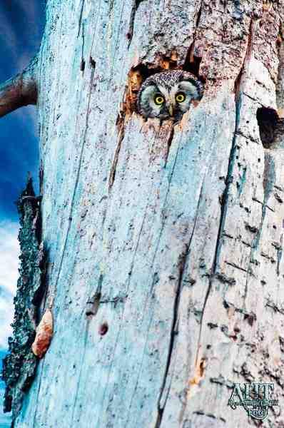 En høgeugle holder udkig fra sit hul. Har man øje for det, er der masser af muligheder for at opleve det spændende dyreliv.