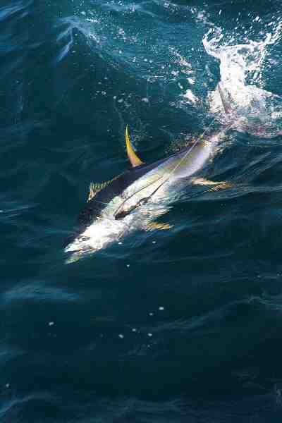 Yellowfin tun er et herligt indslag når man speedjigger men de skal hives hurtigt op for ikke at blive spist af hajerne.