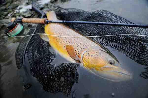 Denne flotte fjordørred fra Lejre Vig lod sig overliste af en lille Cutthroat Kutling fisket på helt lavt vand. Husk at respektere fredningsbælterne, som der er ganske mange af. De kan findes på Naturerhvervsstyrelsens hjemmeside.