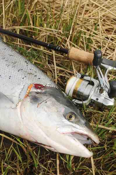 Det er en fisk som denne, vi alle drømmer om efter en lang vinter.