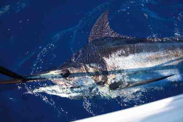 Den første marlin er en realitet. Ikke en gigant, men et flot eksemplar på over 100 kilo – en sensationel fisk taget fra egen småbåd.