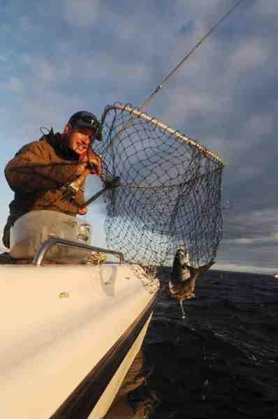 Et net er en stor hjælp når makrellerne skal løftes ombord, og de kun hænger i et tyndt flueforfang.