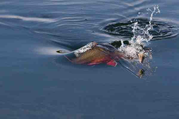 Desværre....næste fisk er fast fisk