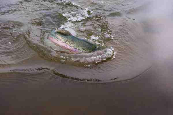 En hidsig regnbue ørred er faldet for en lille hvid Snapper fisket bag et bombardaflåd.