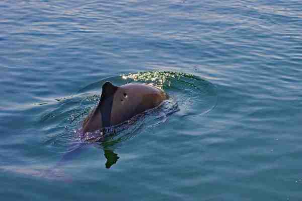 Der er ofte marsvin omkring Bøgebjerg. Nogle mener de skræmmer fiskene væk, andre tager det som et positivt tegn på der er fisk at komme efter...