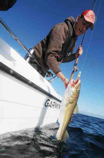 Thomas Munksgaard håndlander en fin torsk taget på Paddle Shad i farven New Penny.