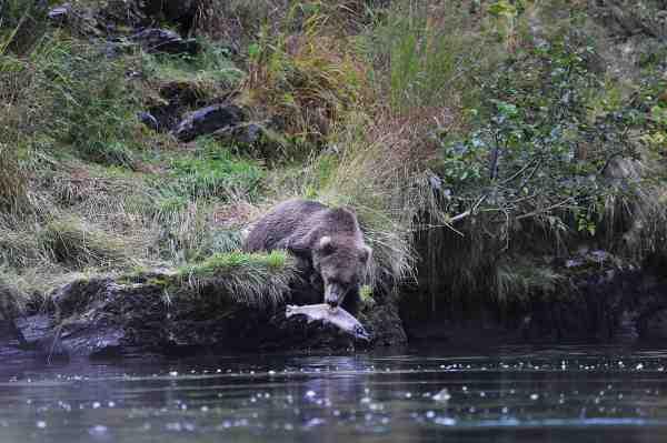 Denne bamse kom ofte og fiskede cirka 30 meter fra os på den modsatte bred af vores lejr. Her nyder den en død pinky